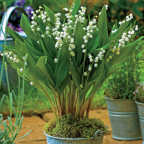 "Lily of the valley, or convallaria majalis, ""Bordeaux""."