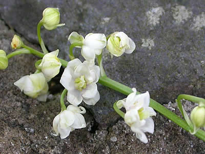 "Close up of double-flowered lily of the valley blossoms, Convallaria majalis ""Flore Pleno."""