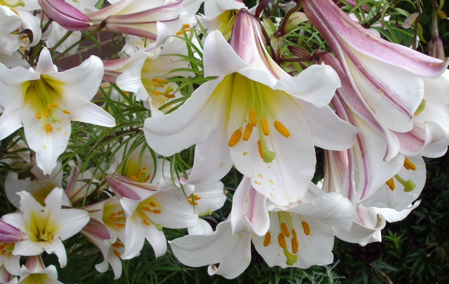 Flowers of the regal lily, or lilium regale.