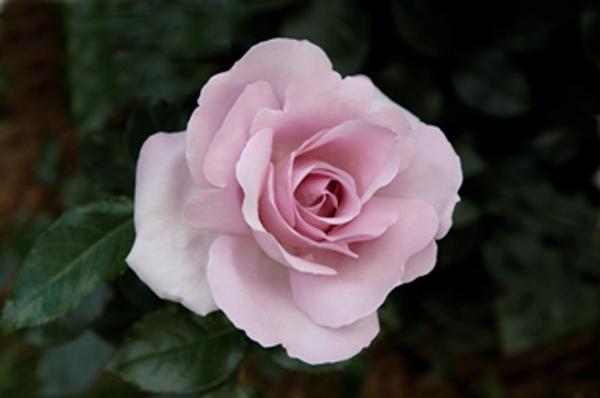 Pépinières et Roseraies Georges Delbard's rose hybrid Le Petit Prince, or La Rose du Petit Prince