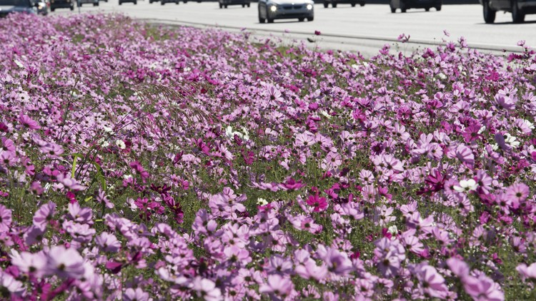 Wildflower planting with native cosmos by Georgia highway