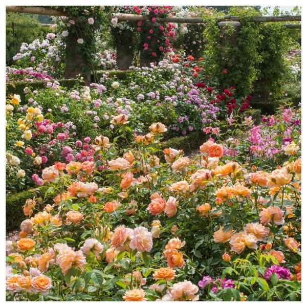 Display of David Austin English Roses, RHS Chelsea Flower Show, 2018.
