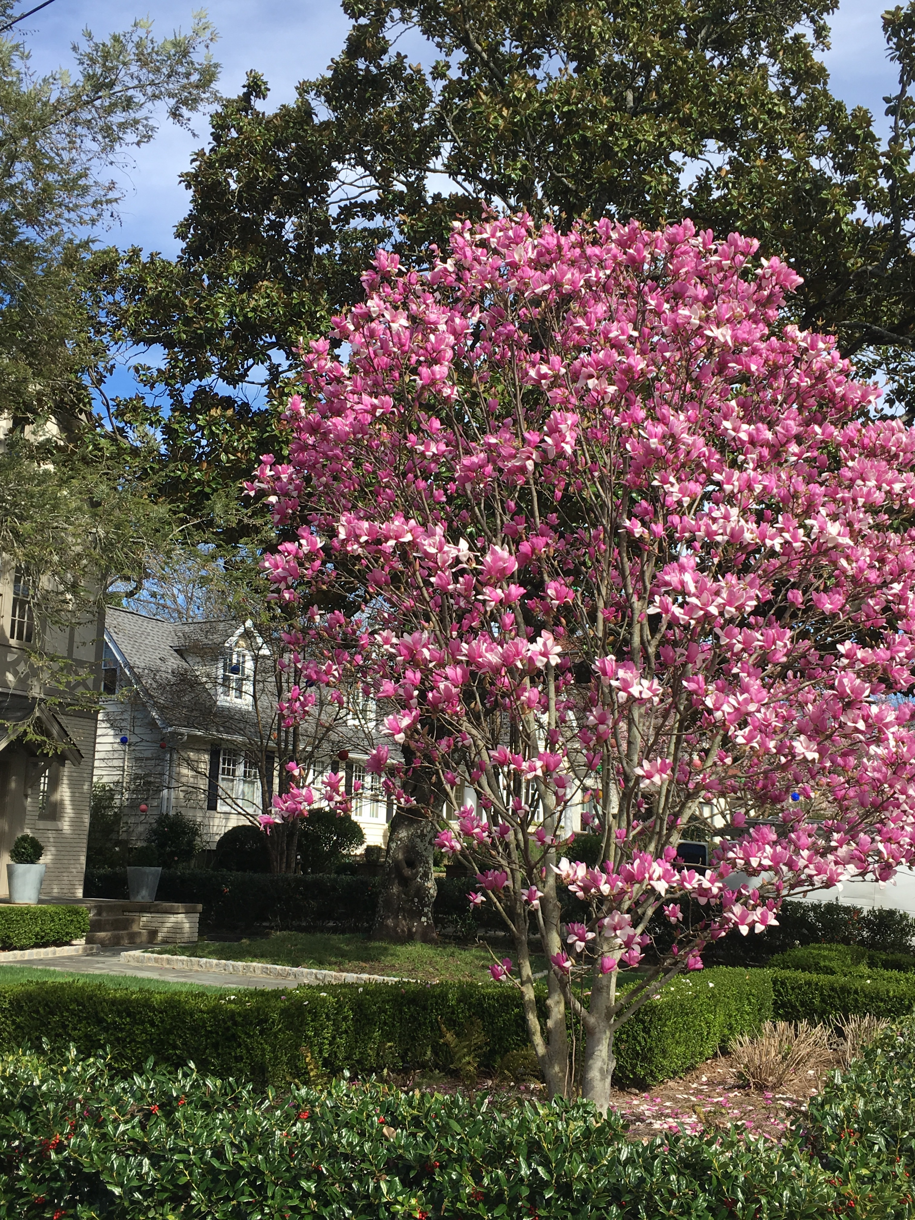 Blossoming pink saucer magnolia