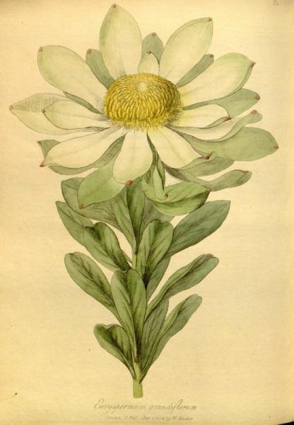 Botanical print of extinct flower Leucadendron grandiflorum